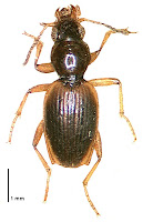 Bembidion (Zecillenus) alacre. Photo: BE Rhode. Citation: Larochelle A, Larivière M-C, Rhode BE 2004-2011. Checklist of New Zealand ground-beetles (Coleoptera: Carabidae) - Image gallery. The New Zealand Carabidae, NZC 01.