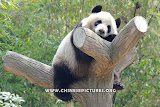 Napping Chinese Panda Photo 3