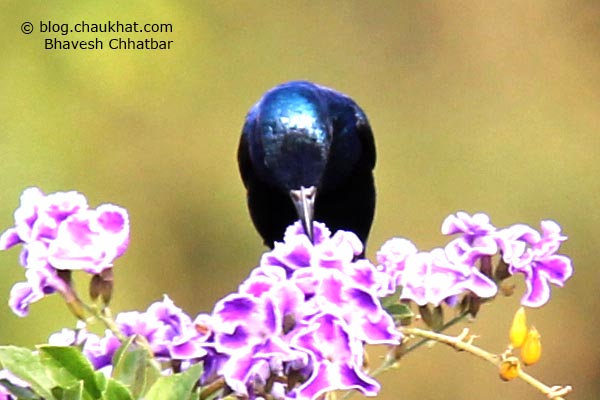 Male Purple Sunbird [Cinnyris asiaticus] drinking nectar from a purple flower