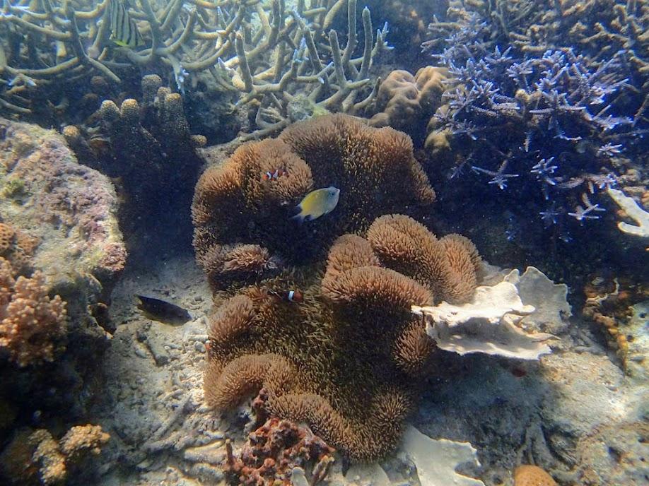Stichodactyla gigantea (Giant Carpet Anemone), Amphiprion ocellaris (Ocellaris Clownfish), Chindonan Island, Palawan, Philippines.