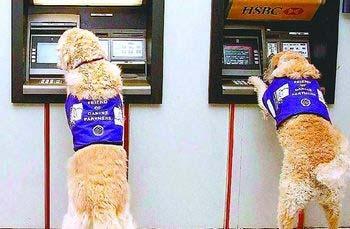 網路圖片:英國導盲犬接受ATM提款訓練。