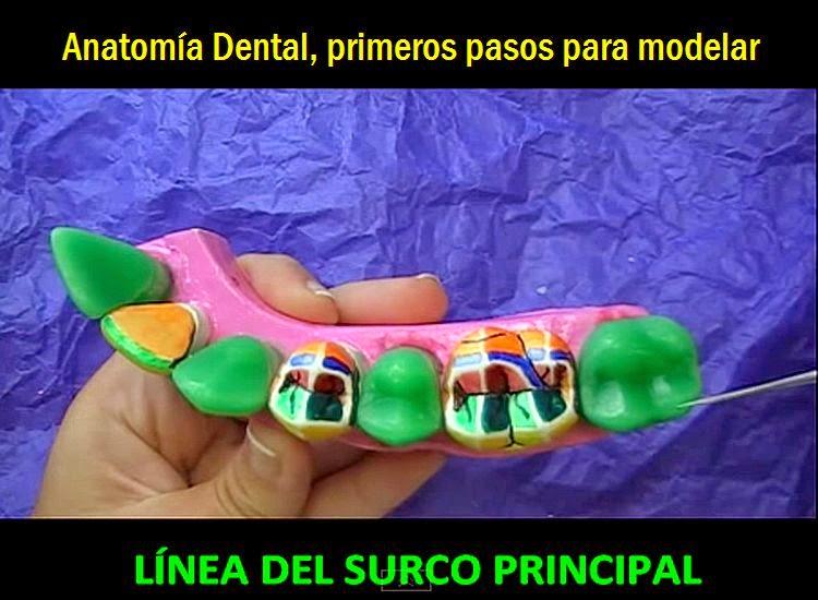 anatomia-dental