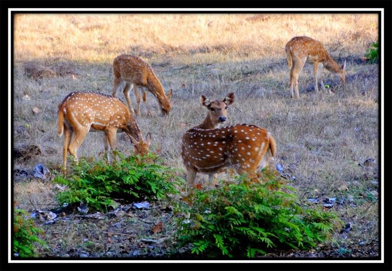 Betla Forest - Deer