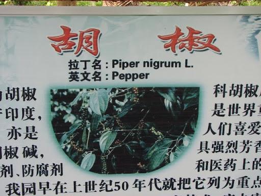 Черный перец в Ботаническом саду Синлун