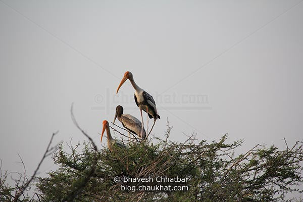 2 painted storks with a baby