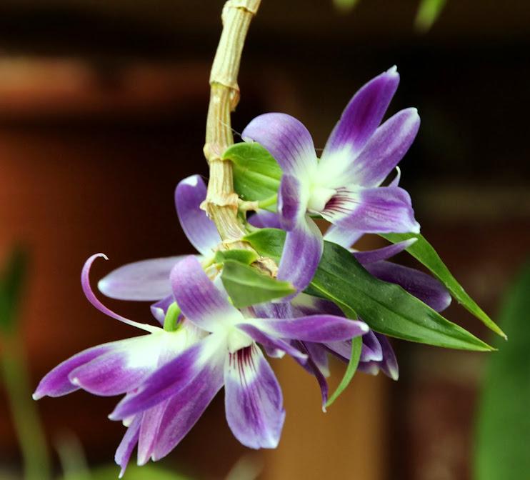 Dendrobium victoriae-reginae IMG_8798