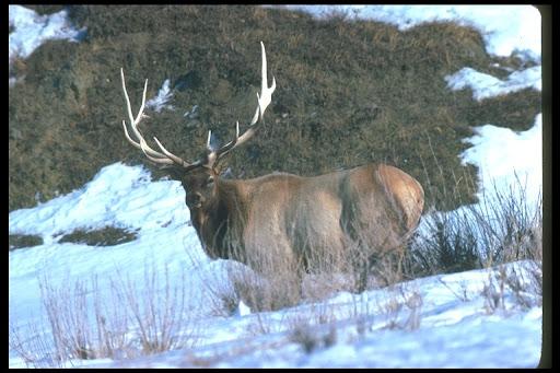 exZOOberance: American Elk