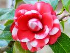 紅色地 白の星斑入り 八重〜千重咲き 雄しべは退化して貧弱 小輪