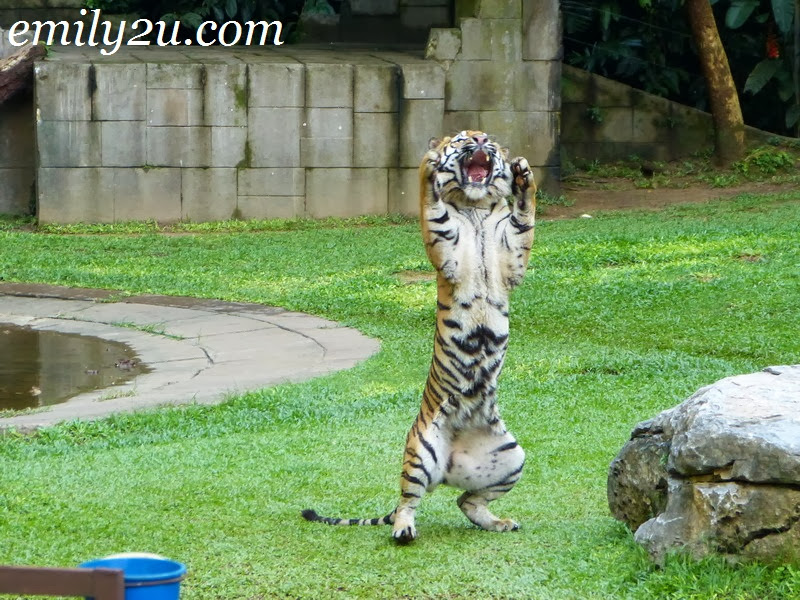 tiger feeding Lost World of Tambun