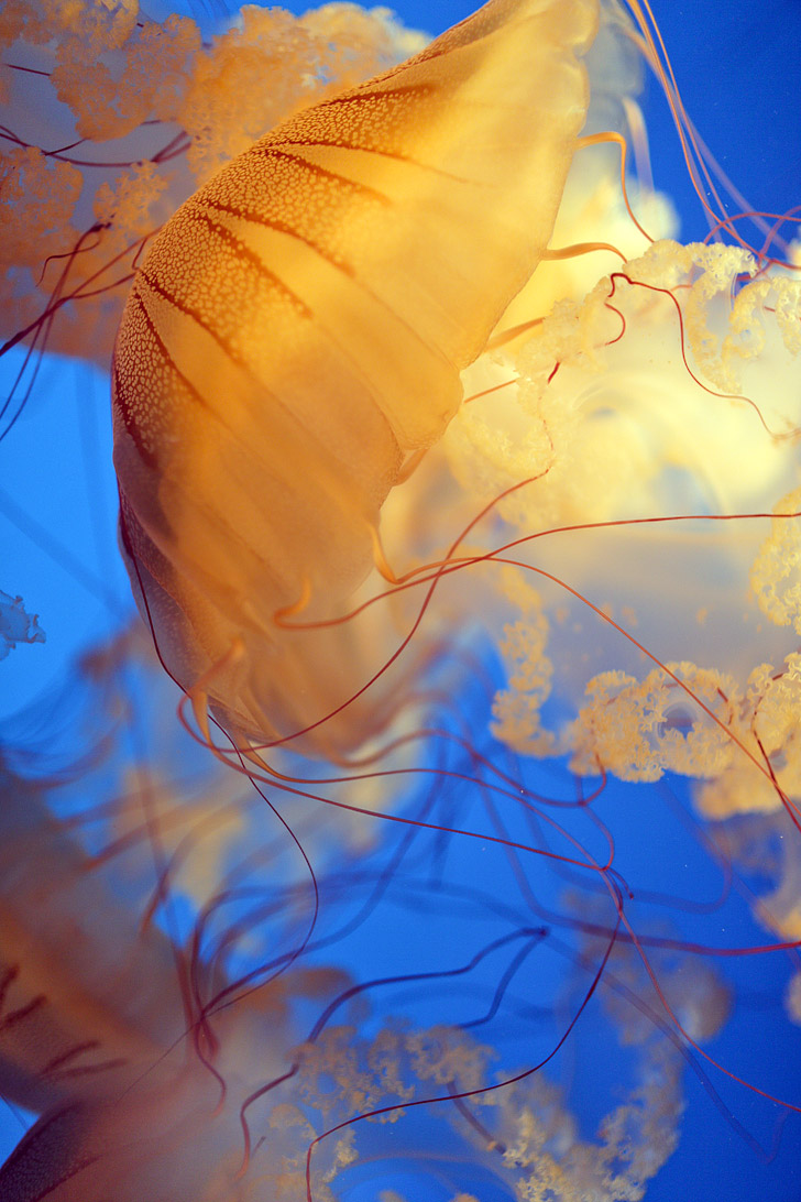 Sea Nettles {Click through to see more Jellyfish Images}.