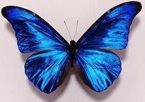 Mariposa con alas azules