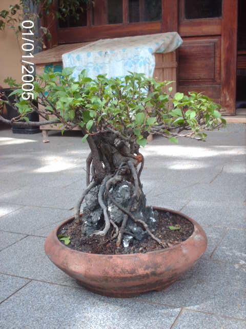 Ficus Microcarpa do Roberto Teixeira... PICT1714