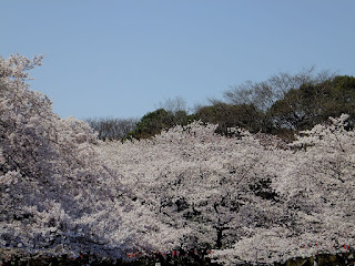 120408 桜(都内各地)