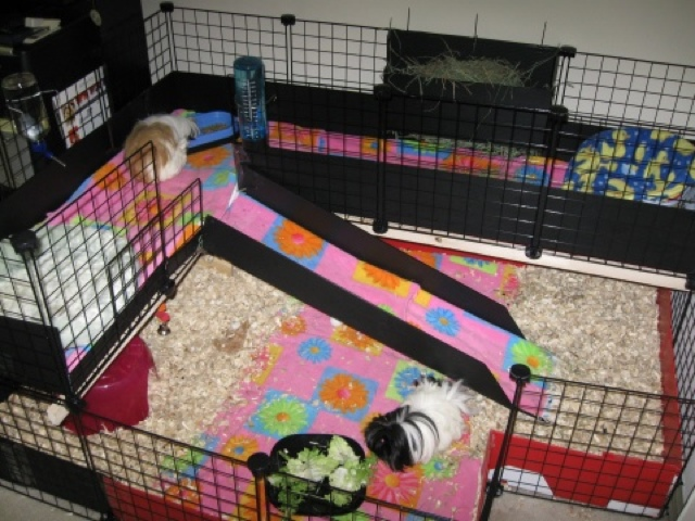 C and c cages guinea pig wonderland for Making a c c cage