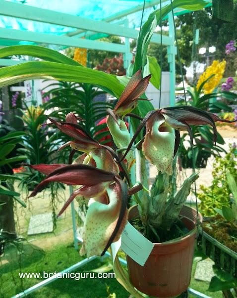 Catasetum stupendum flowers
