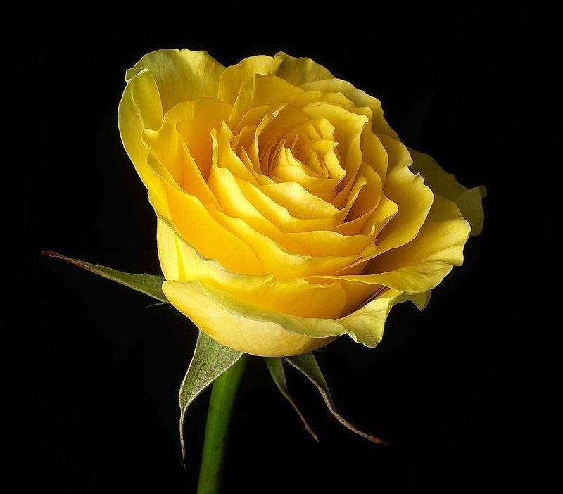 abstract beautiful yellow rose on black background | 16 Beautiful Examples of Flower Photography | totally Cool pix | best Photographer | big picture | wallpaper