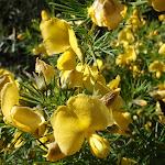 Gompholobium grandiflorum (Large Wedge Pea) (165544)