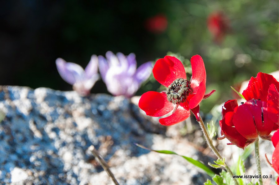 Цветы Израиля.