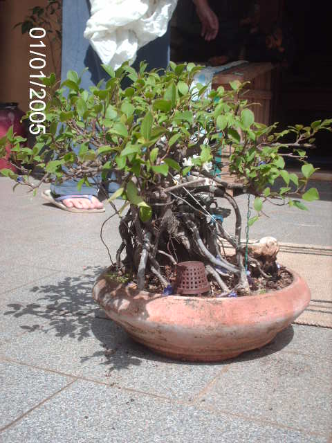 Ficus Microcarpa do Roberto Teixeira... PICT1651