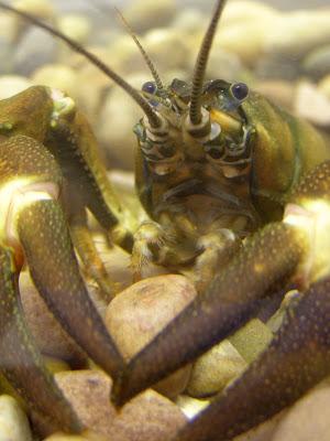 A signal crayfish