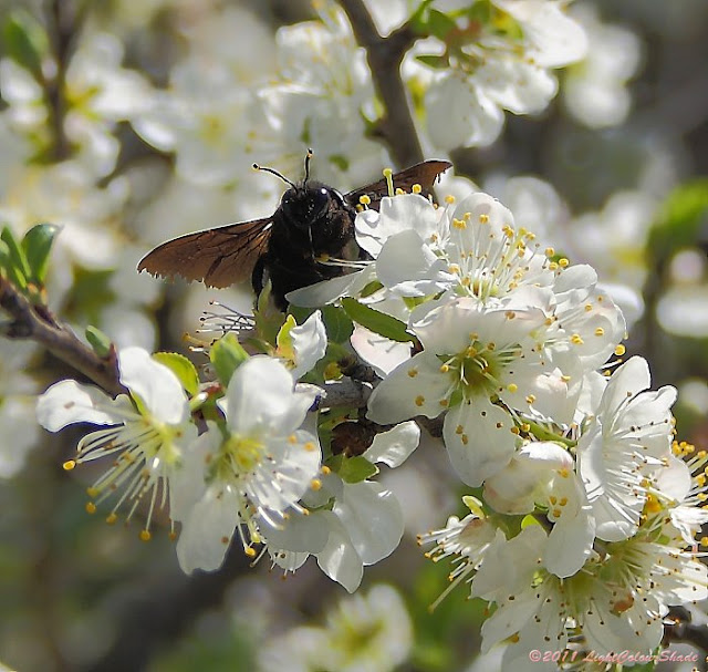 Black bumblebee on apple tree blossom