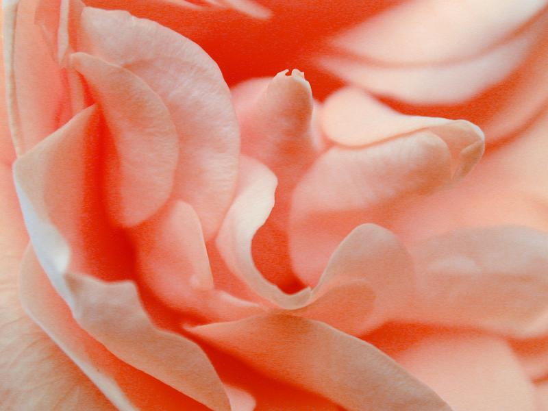 A beautiful free close-up photo of a rose courtesy of freeimages.co.uk