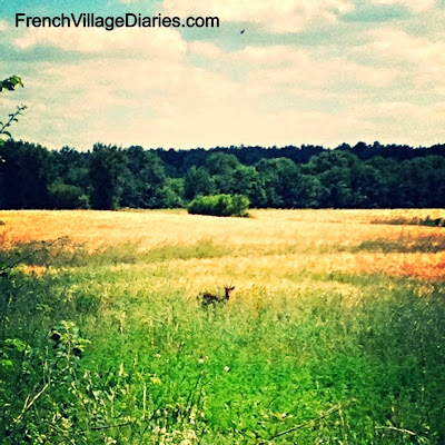 French Village Diaries dog walking delights ragondan deer fields countryside France
