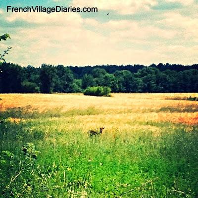 French Village Diaries dog walking delights ragondan deer fields countryside France