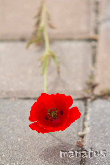 manatus flor amapola urbana