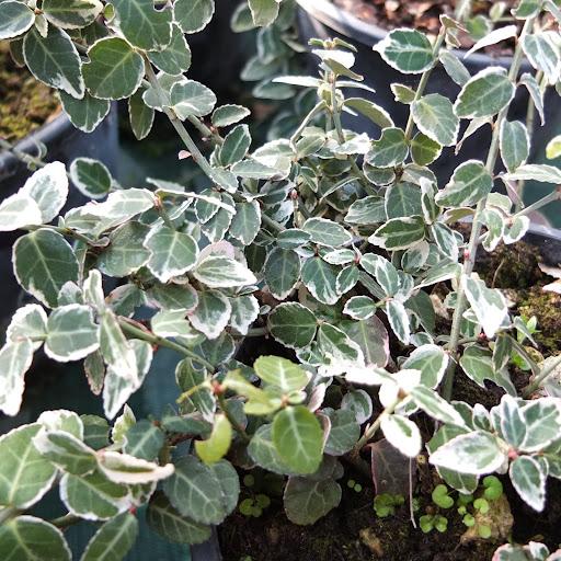 piante perenni da vaso ricadenti