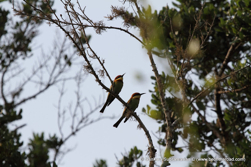 Chestnut Headed Bee Eaters at Yala National Park - 3