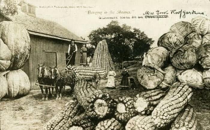 Milhos gigantes em cartão postal de 1908