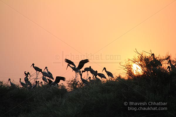 A group of painted storks at dusk