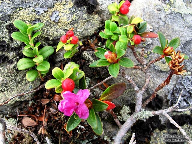 rododendron şi merişoare