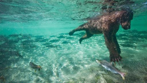 Brown Bear Swimming for Salmon, Katmai National Park, Alaska.jpg