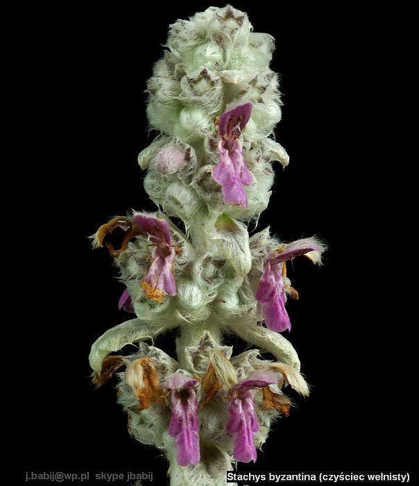 Stachys byzantina  inflorescence - Czyściec wełnisty kwiatostan