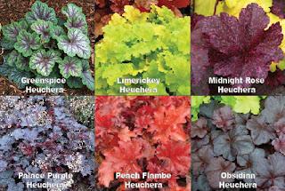 Цветочные новинки - гейхеры разных сортов, фото
