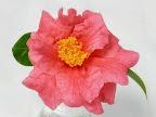 紅桃色 八重〜牡丹咲き 極大輪