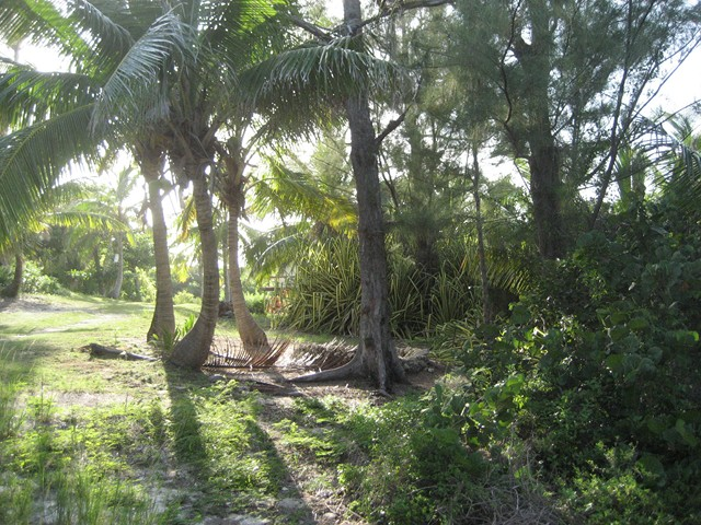 Kay's lawn with coconut palms