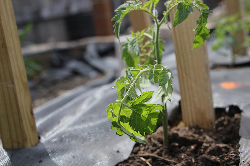 Is Tomato Over Watered Under Watered Over Fertilized Pics