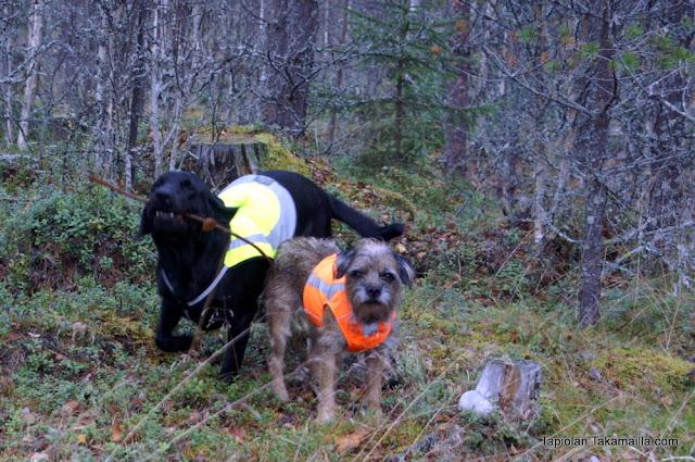 huomioliivit labradorinnoutaja borderterrieri hurttacollection