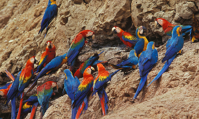 Macaw clay lick at the bahuaja-sonene National Park