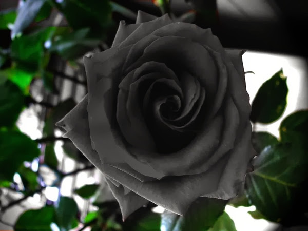 Loài hoa hồng đen bí ẩn có thật