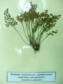 Zanokcica murowa miniaturka