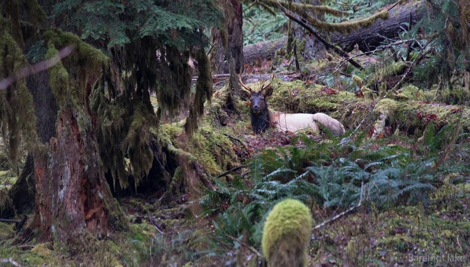 Quinault Elk