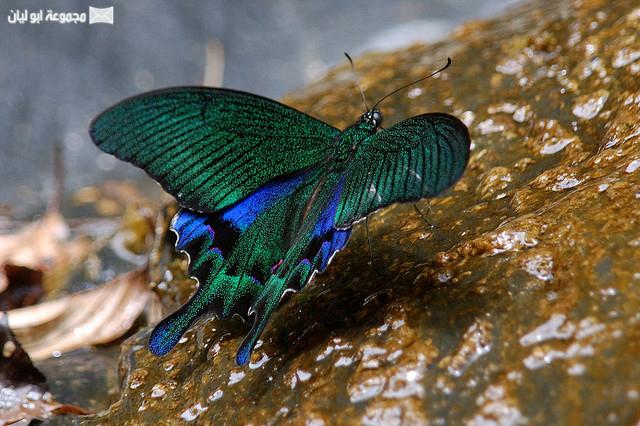 اجمل ملكة جمال الحشرات ؟؟؟؟ D%2520%25286%2529