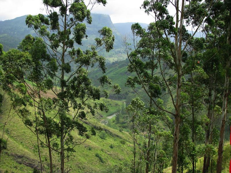 Эвкалиптовые деревья на Цейлоне, оказывается, тоже растут
