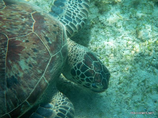 Tortues marines à Mayotte DSCN1417