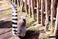 Foto de un Lemur de cola anillada