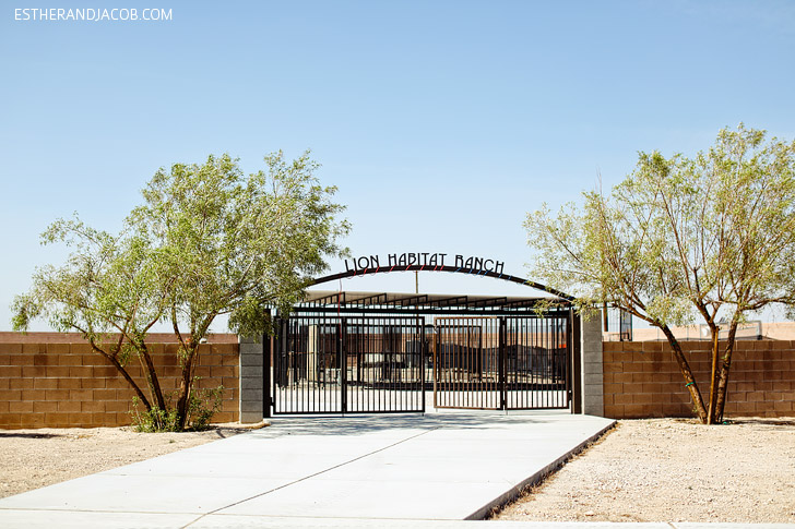 Local Adventures Feature: Las Vegas Lion Habitat Ranch with MGM lion descendents.